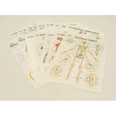 Laminas anatomia x 14 unidades
